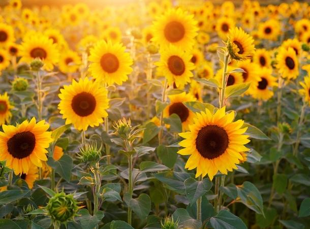 Auringonkukkapelto kylpee auringonvalossa